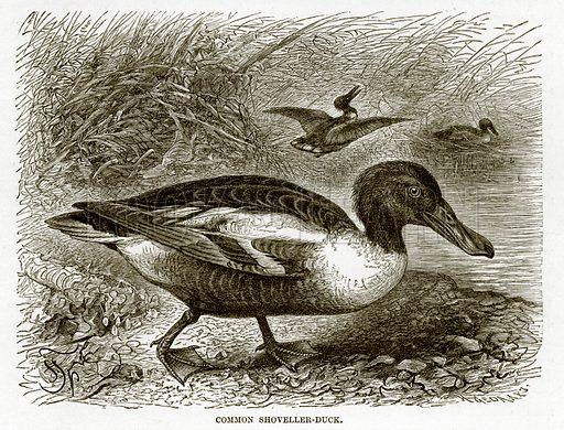 Common Shoveller-Duck. The Royal Natural History, ed Richard Lydekker (Frederick Warne, 1896).