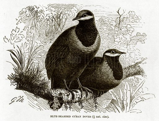 Blue-Bearded Cuban Doves. The Royal Natural History, ed Richard Lydekker (Frederick Warne, 1896).
