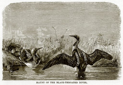 Haunt of the Black-Throated Diver. The Royal Natural History, ed Richard Lydekker (Frederick Warne, 1896).
