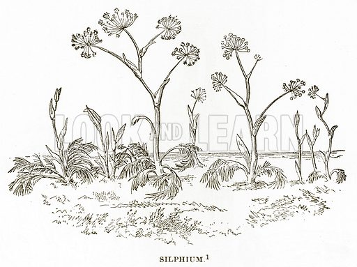 Silphium. Illustration from History of Greece by Victor Duruy (Boston, 1890).