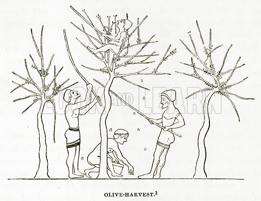 Olive-Harvest. Illustration from History of Greece by Victor Duruy (Boston, 1890).
