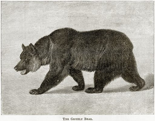 The Grizzly Bear. Illustration from United States Pictures by Richard Lovett (Religious Tract Society, 1891).