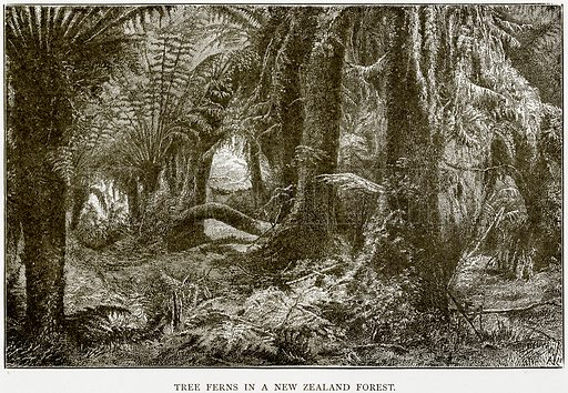 Tree Ferns in a New Zealand Forest. Illustration from The World As It Is by George Chisholm (Blackie, 1884).