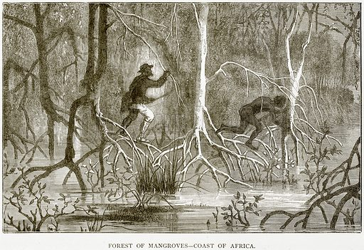 Forest of Mangroves – Coast of Africa. Illustration from The World As It Is by George Chisholm (Blackie, 1884).