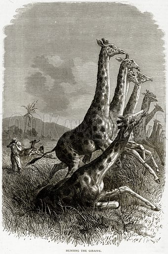 Hunting the Giraffe. Illustration from Illustrated Travels edited by HW Bates (Cassell, c 1880).
