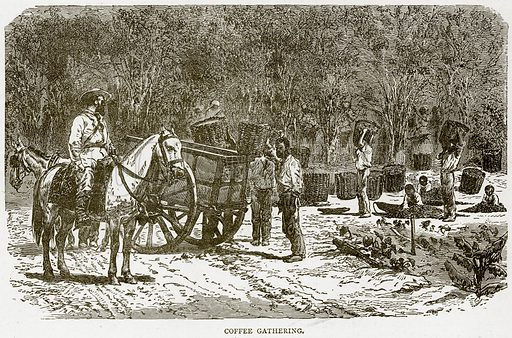 Coffee Gathering. Illustration from Illustrated Travels edited by HW Bates (Cassell, c 1880).
