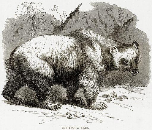 The Brown Bear. Illustration from Illustrated Travels edited by HW Bates (Cassell, c 1880).