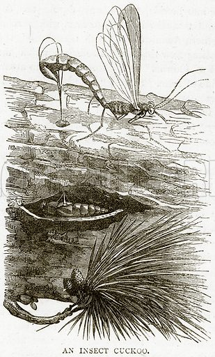 An Insect Cuckoo. Illustration from Illustrated Travels edited by HW Bates (Cassell, c 1880).
