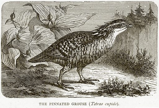 The Pinnated Grouse (Tetrao Cupido). Illustration from Illustrated Travels edited by HW Bates (Cassell, c 1880).
