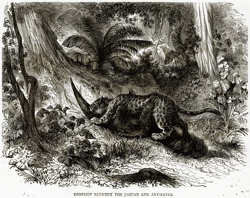 Conflict between the Jaguar and Ant-Eater. Illustration from Illustrated Travels edited by HW Bates (Cassell, c 1880).