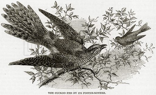 The Cuckoo Fed by its Foster-Mother. Illustration from The National Magazine (Kent, 1860).