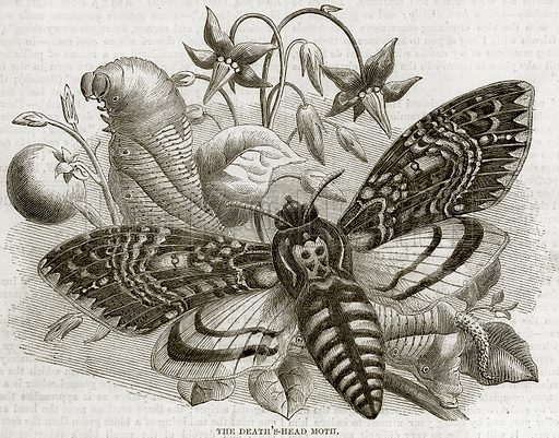 The Death's-Head Moth. Illustration from The National Magazine (Kent, 1860).