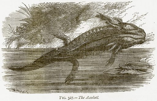 The Axolotl. Illustration from Discoveries and Inventions by Robert Routledge (9th edn, George Routledge, 1891).