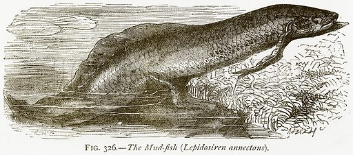 The Mud-Fish (Lepidosiren Annectans). Illustration from Discoveries and Inventions by Robert Routledge (9th edn, George Routledge, 1891).