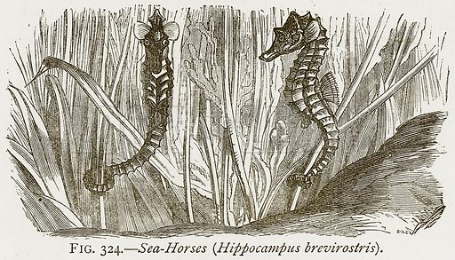 Sea-Horse (Hippocampus Brevirostris). Illustration from Discoveries and Inventions by Robert Routledge (9th edn, George Routledge, 1891).
