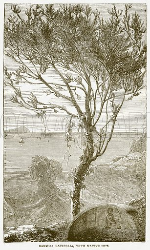 Banksia Latifolia, with Native Hut. Illustration from Notable Voyagers by William Kingston (George Routledge, 1885).