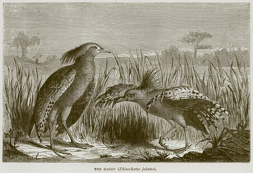 The Kagou (Rhinochaetus Jubatus). Illustration from Illustrated Travels edited by H W Bates (Cassell, c 1880).