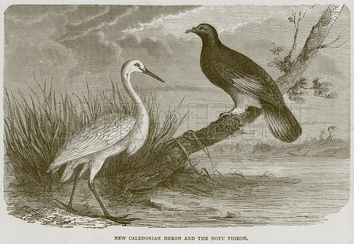New Caledonian Heron and the Notu Pigeon. Illustration from Illustrated Travels edited by H W Bates (Cassell, c 1880).