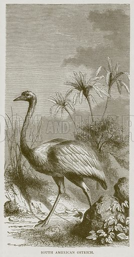 South American Ostrich. Illustration from Illustrated Travels edited by HW Bates (Cassell, c 1880).