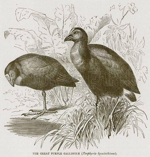 The Great Purple Gallinule (Porphyrio Hyacinthinus). Illustration from Illustrated Travels edited by H W Bates (Cassell, c 1880).
