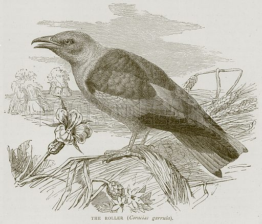 The Roller (Coracias Garrula). Illustration from Illustrated Travels edited by HW Bates (Cassell, c 1880).