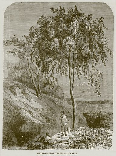 Metrosideros Trees, Australia. Illustration from Illustrated Travels edited by HW Bates (Cassell, c 1880).