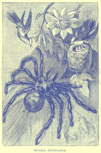 Mygale Avicularia. Illustration from Illustrated Travels edited by H W Bates (Cassell, c 1880).