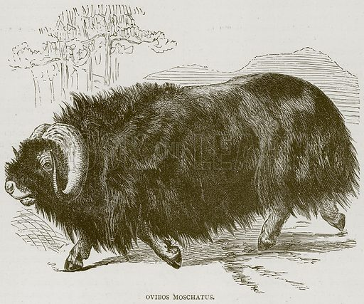 Ovibos Moschatus. Illustration from Illustrated Travels edited by HW Bates (Cassell, c 1880).