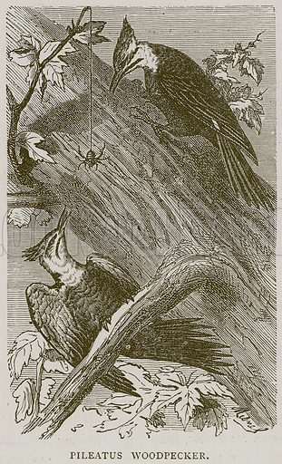 Pileatus Woodpecker. Illustration from Illustrated Travels edited by H W Bates (Cassell, c 1880).