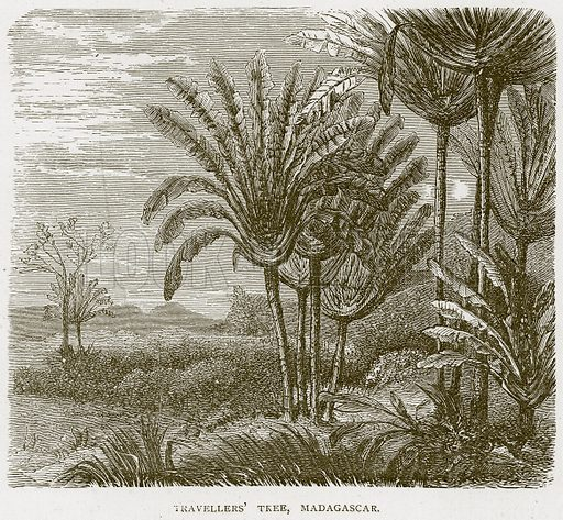 Travellers' Tree, Madagascar. Illustration from Illustrated Travels edited by H W Bates (Cassell, c 1880).