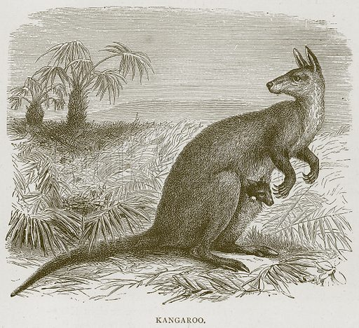 Kangaroo. Illustration from Illustrated Travels edited by H W Bates (Cassell, c 1880).