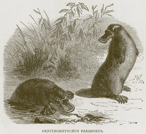 Ornithorhynchus Paradoxus. Illustration from Illustrated Travels edited by HW Bates (Cassell, c 1880).