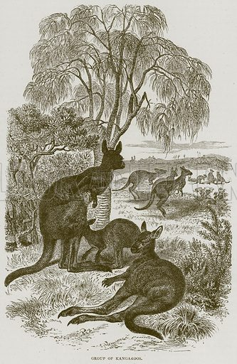 Group of Kangaroos. Illustration from Illustrated Travels edited by H W Bates (Cassell, c 1880).