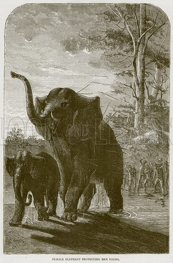 Female Elephant Protecting her Young. Illustration from Illustrated Travels edited by HW Bates (Cassell, c 1880).
