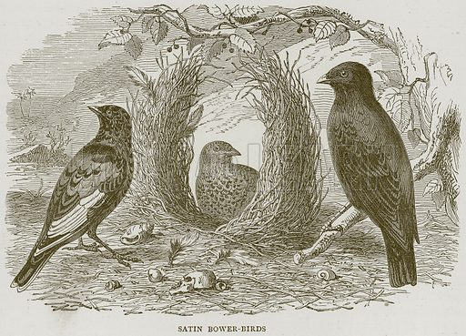 Satin Bower-Birds. Illustration from Illustrated Travels edited by HW Bates (Cassell, c 1880).
