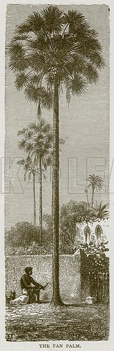 The Fan Palm. Illustration from Illustrated Travels edited by HW Bates (Cassell, c 1880).