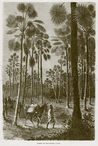 Forest of Fan-Leaved Palms. Illustration from Illustrated Travels edited by H W Bates (Cassell, c 1880).
