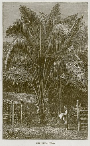 The Inaja Palm. Illustration from Illustrated Travels edited by H W Bates (Cassell, c 1880).