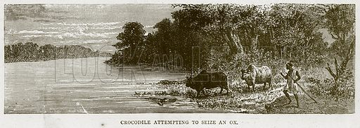 Crocodile attempting to Seize an Ox. Illustration from Illustrated Travels edited by H W Bates (Cassell, c 1880).