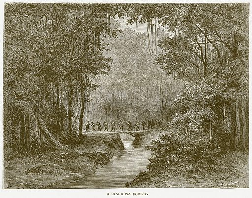 A Cinchona Forest. Illustration from Illustrated Travels edited by HW Bates (Cassell, c 1880).