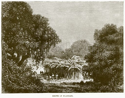 Grove of Plantain. Illustration from Illustrated Travels edited by H W Bates (Cassell, c 1880).