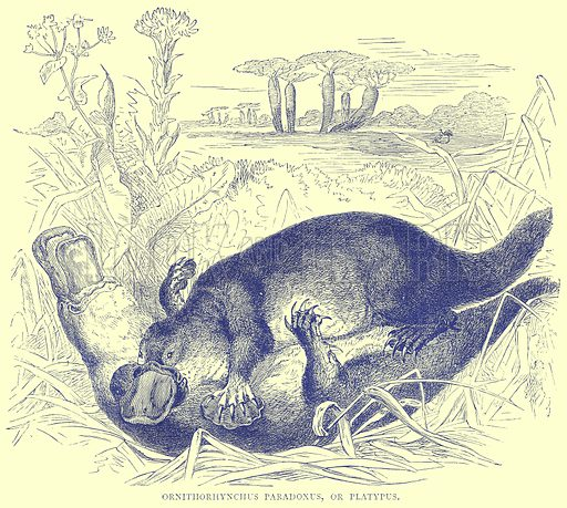 Ornithorhynchus Paradoxus, or Platypus. Illustration from Illustrated Travels edited by H W Bates (Cassell, c 1880).