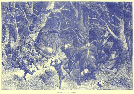 Charge of Buffaloes. Illustration from Illustrated Travels edited by H W Bates (Cassell, c 1880).