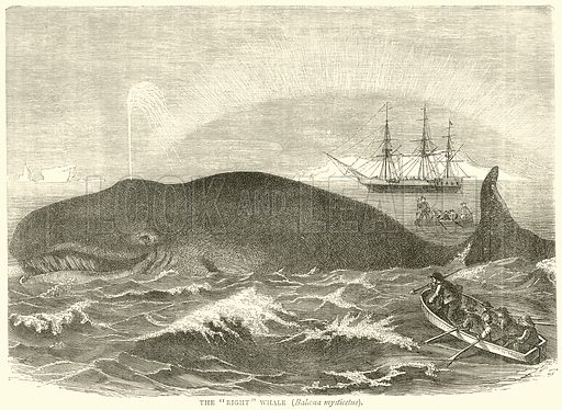 """The """"Right"""" Whale (Balcena Mysticetus). Illustration from Illustrated Travels edited by H W Bates (Cassell, c 1880)."""