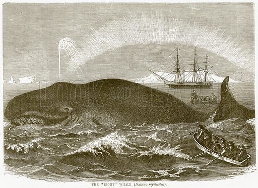 """The """"Right"""" Whale (Balcena Mysticetus). Illustration from Illustrated Travels edited by HW Bates (Cassell, c 1880)."""