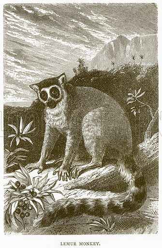 Lemur Monkey. Illustration from Illustrated Travels edited by H W Bates (Cassell, c 1880).