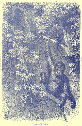 Orang-Outang. Illustration from Illustrated Travels edited by H W Bates (Cassell, c 1880).