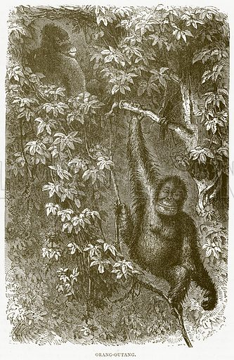 Orang-Outang. Illustration from Illustrated Travels edited by HW Bates (Cassell, c 1880).