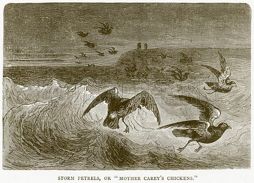 """Storm Petrels, or """"Mother Carey's Chickens."""" Illustration from Illustrated Travels edited by HW Bates (Cassell, c 1880)."""
