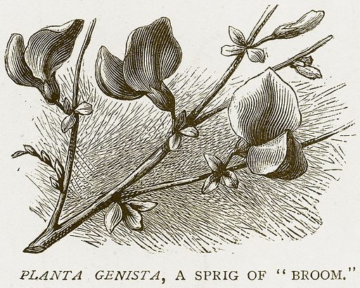 """Planta Genista, a Sprig of """"Broom."""" Illustration for History of England by HO Arnold-Forster (Cassell, 1897)."""